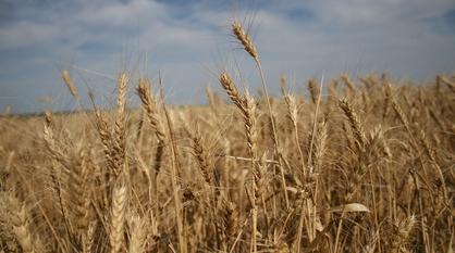 В Воронежской области собрали первый миллион тонн зерна нового урожая