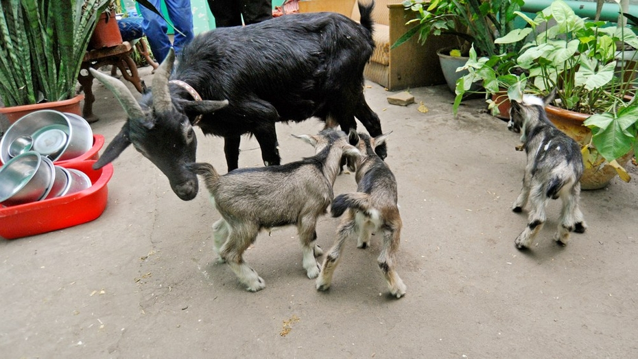 Воронежский зоопарк объявил конкурс на лучшие клички для козлят