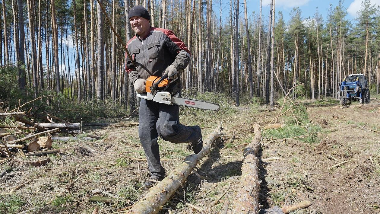 «Все тут по закону». Сосновый лес в центре Воронежской области – под угрозой исчезновения?