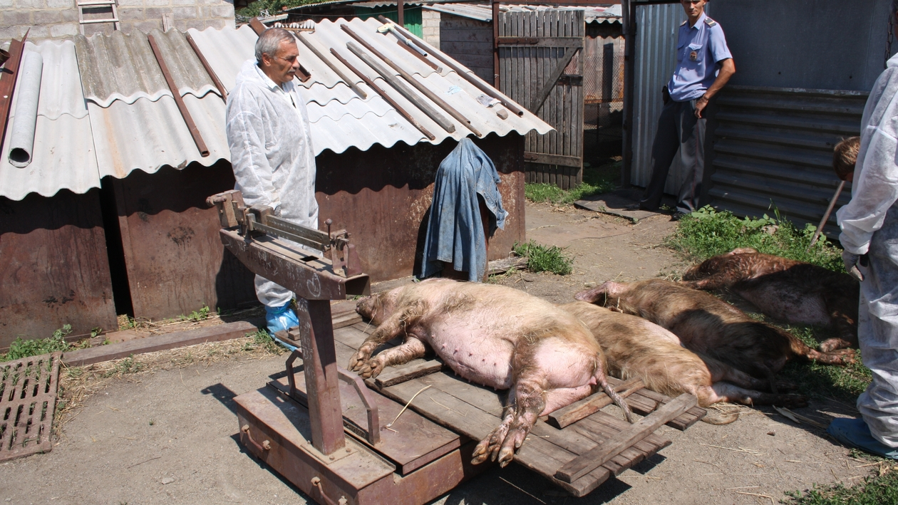 Свиная чума: правда и мифы