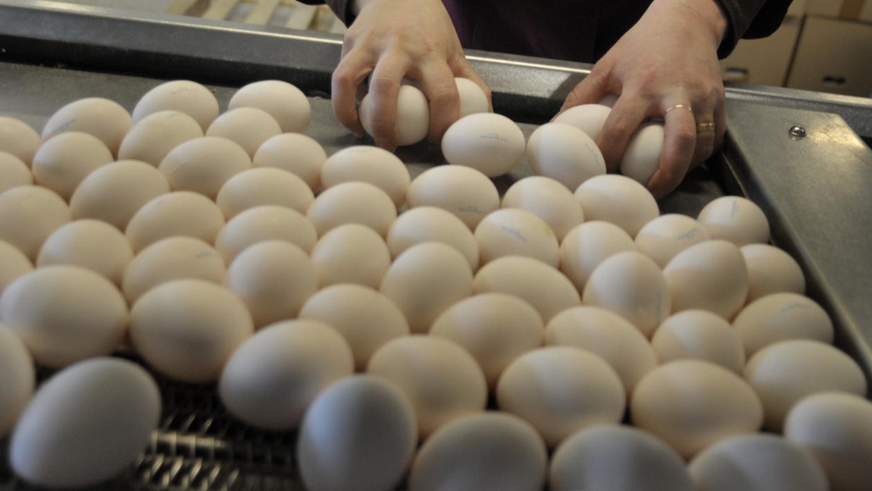Грипп Ясенки. Что происходит на фабрике по производству яиц в Воронежской области