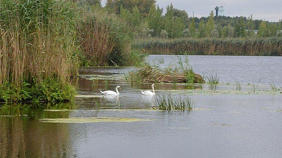 В Острогожск впервые прилетели дикие лебеди
