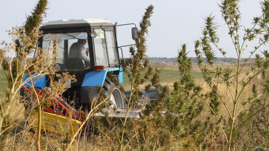 В аннинском селе Николаевка уничтожили 1 га дикорастущей конопли