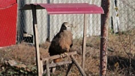В Бобровском районе живет предсказывающий погоду ручной сокол Кеша