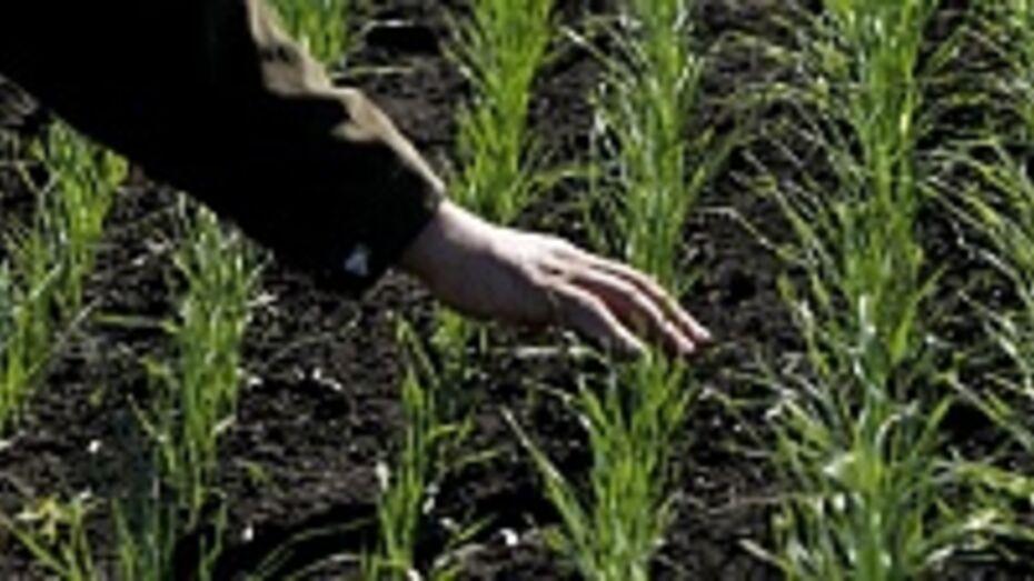 Под урожай 2014 года в Воронежской области посеяно 550,1 тыс гектаров озимых культур