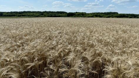 Аннинский район вышел в лидеры по урожайности зерновых в Воронежской области