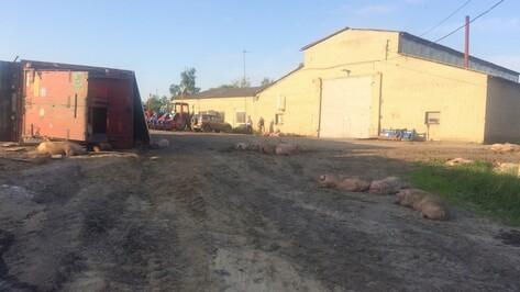 В Воронежской области перевернулась фура со 150 свиньями
