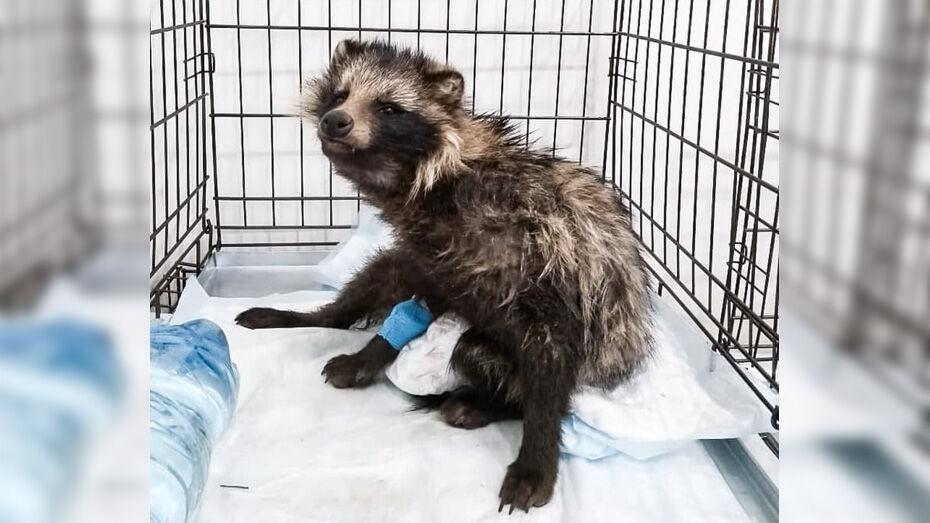 Хохольские зоозащитники попросили помощи в спасении енотовидной собаки