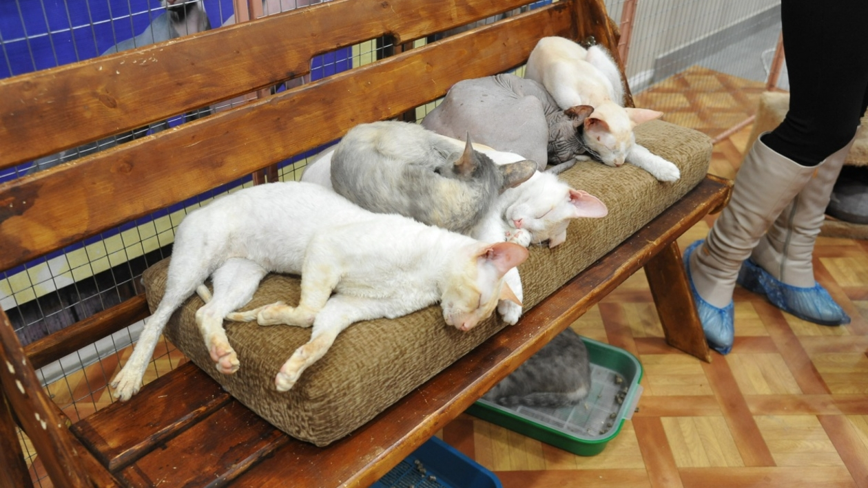 Бывшая работница «Федерации кошек» – о передвижной выставке в Воронеже: «У меня болит душа»
