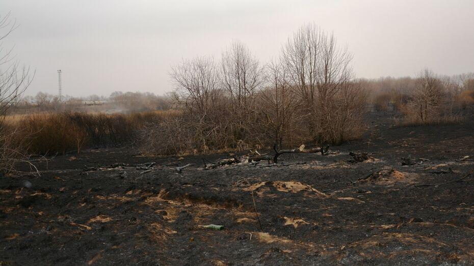 В Россошанском районе выгорело около 5 га молодых сосен