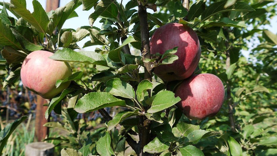В Воронежской области появится яблоневый сад суперинтенсивного типа