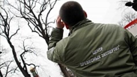 Столичные эксперты исследовали в Воронеже дуб-памятник