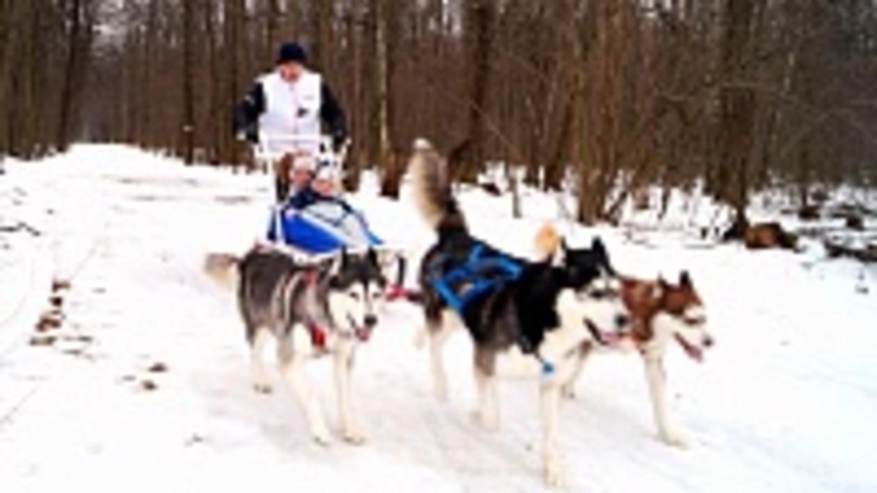 Этой зимой более ста воронежцев прокатились в собачьей упряжке