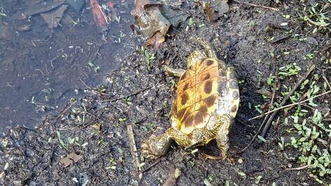 Более 30 мертвых черепах насчитали в Черепашьем озере под Воронежем