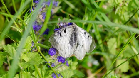 В Воронежском заповеднике зафиксировали массовый лет краснокнижных бабочек