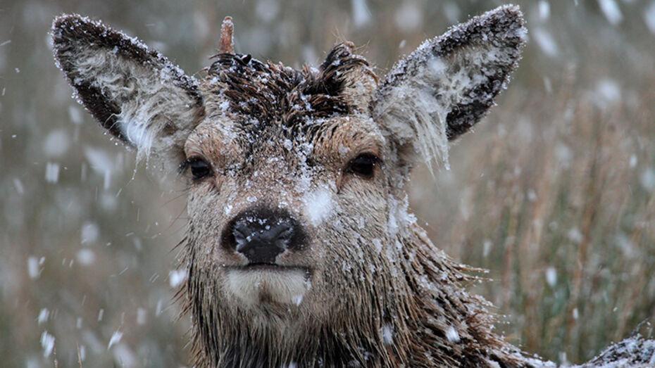 В Бобровском районе браконьер застрелил двух благородных оленей