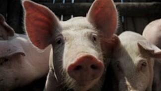 Воронежское облправительство поможет крестьянам перепрофилировать свинофермы