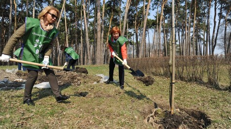 В воронежском парке «Алые паруса» появился 31 краснолистный дуб