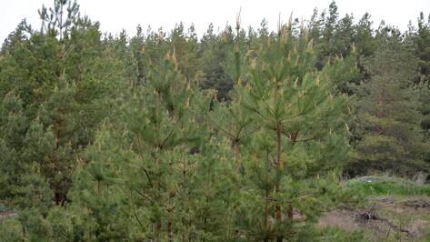 Нижнедевидцы смогут приобрести местные елки