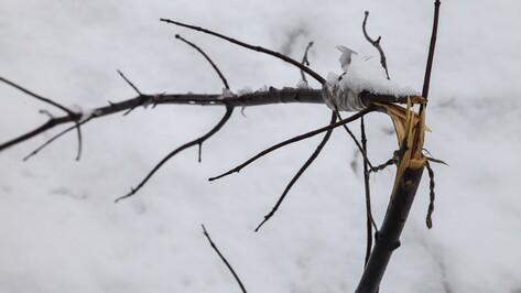 В центре Острогожска неизвестные сломали 11 молодых кленов