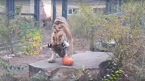 Кошки Воронежского зоопарка отметили Хеллоуин с тыквенным «мячиком»