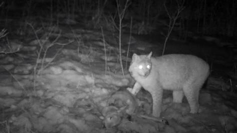 Поедающая добычу рысь попала в объектив фотоловушки Воронежского заповедника