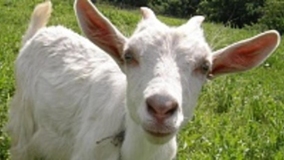 В Панино объявили конкурс на лучшее фото козы