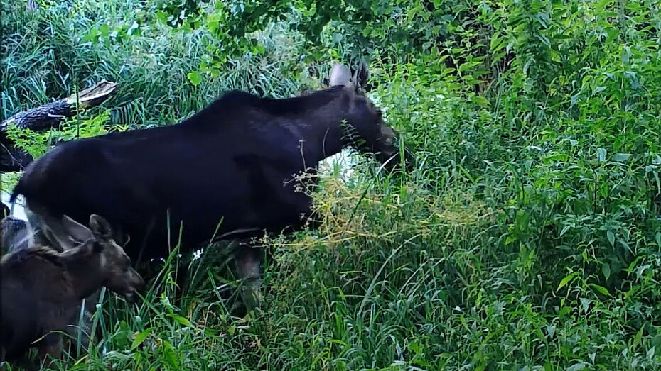 Воронежский заповедник опубликовал видео с многодетной лосихой