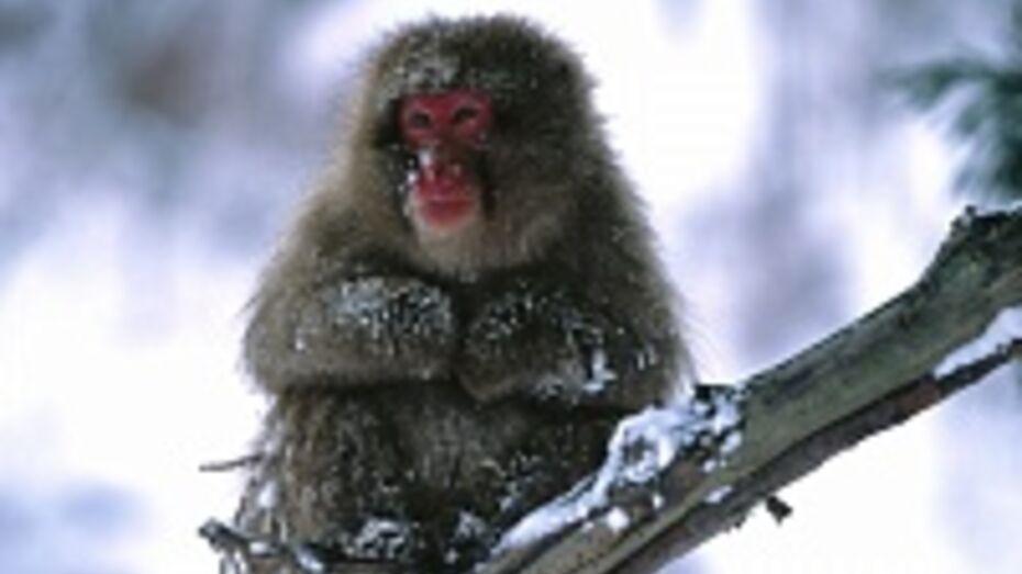 В Воронежском зоопарке обезьян спасают от холода чаем и глинтвейном