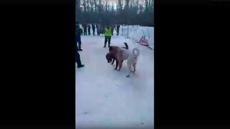 Появились видео собачьих боев под Воронежем