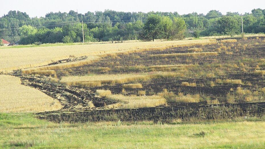 В Таловском районе огонь уничтожил 25 га пшеничного поля
