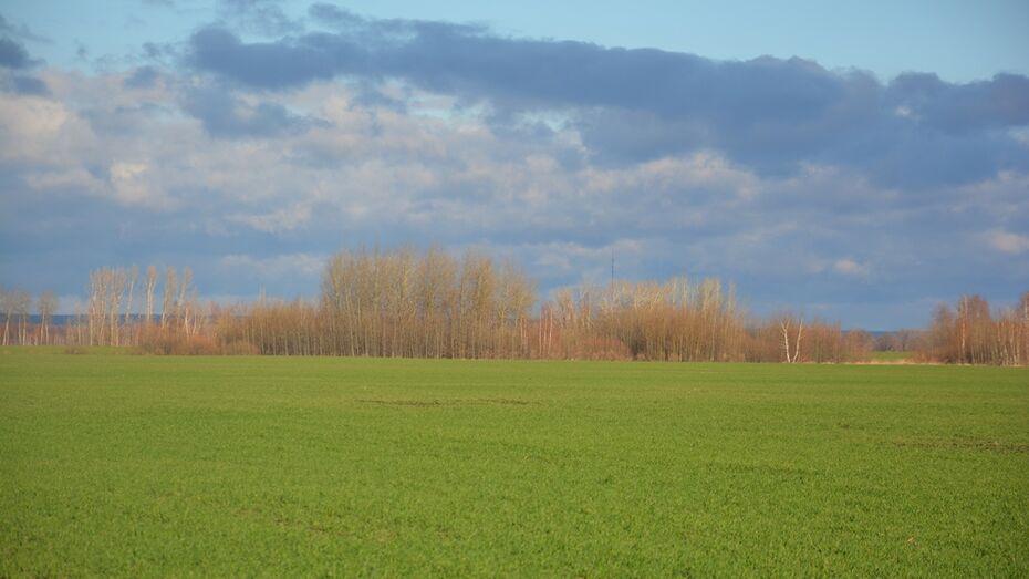 В Поворинском районе жизнеспособными оказались 93% озимых