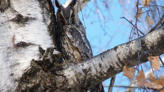 В заказнике Каменная степь Таловского района сделали редкий снимок ушастой совы