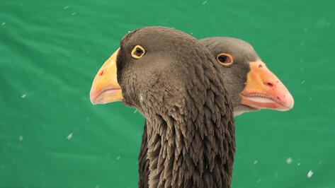 Воронежцы сообщили о замерзающих на водохранилище диких гусях