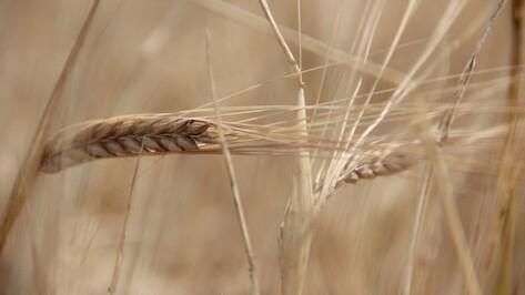 В России собрали 104,3 млн т зерна