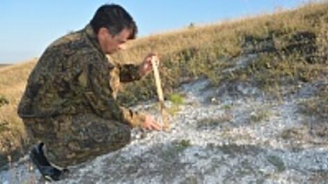 Вымирающие меловые сосны прижились в Нижнедевицком районе