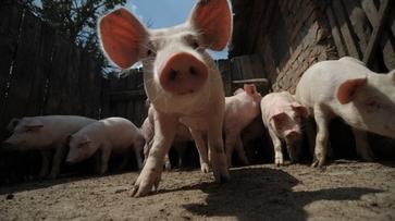 Группа «Черкизово» вложит 6 млрд рублей в производство мяса в Воронежской области