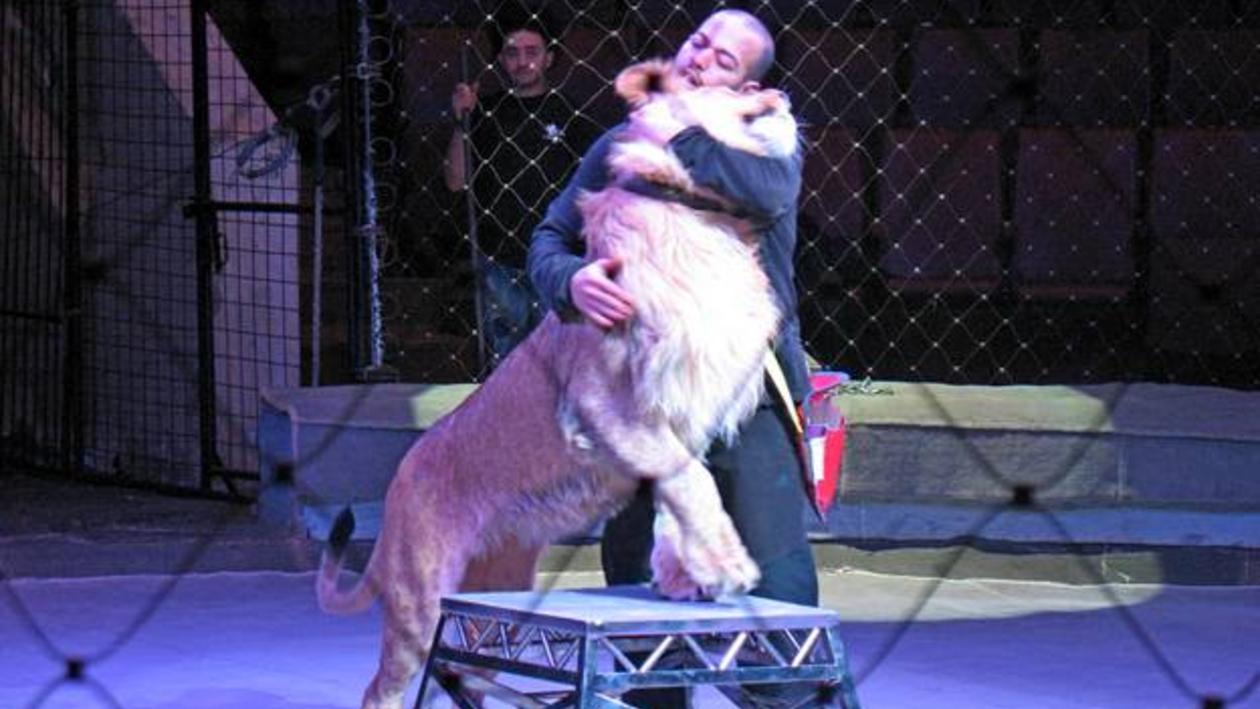В Воронеж привезли уникальных нильских львов