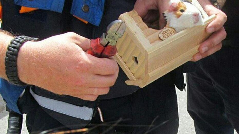В Воронеже спасатели освободили застрявшую в клетке морскую свинку