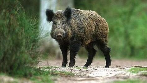 В Поворинском районе из-за африканской чумы свиней убьют 10 диких кабанов