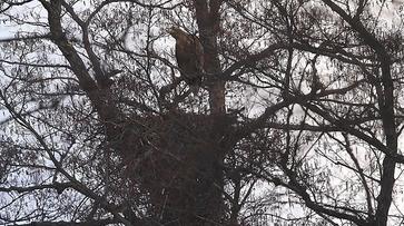 Орлан-белохвост из Красной книги свил гнездо под Воронежем