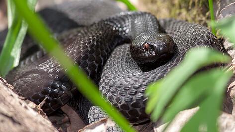 Ползучие и шипучие. Каких змей можно встретить в Воронежской области