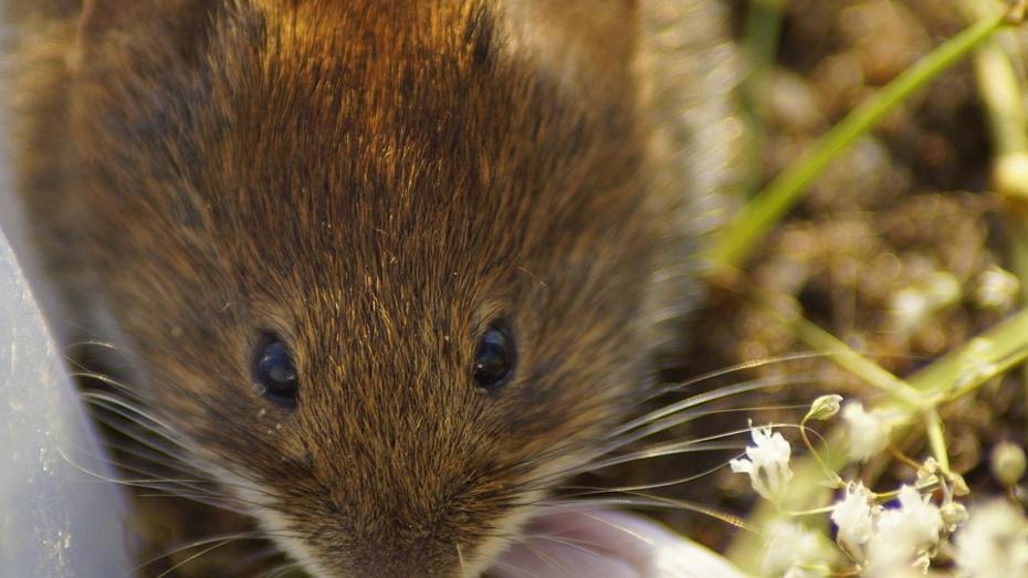 Количество заболевших «мышиной» лихорадкой воронежцев резко выросло