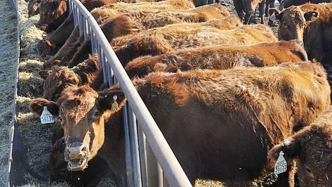 Минсельхоз выделит Воронежской области 189 млн рублей на развитие животноводства