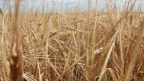 Урожай зерна в России в 2015 году может составить 102 млн т