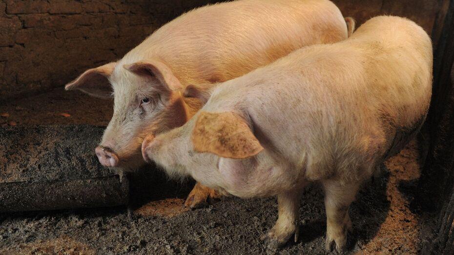 В Воронежской области ввели карантин по африканской чуме свиней