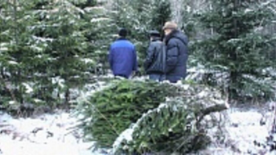 В Панинском районе неизвестные незаконно вырубили несколько десятков европейских сосен