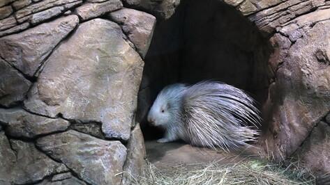 В Воронежском океанариуме появился дикобраз-альбинос