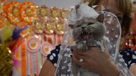 На выставке кошек в Воронеже зрители увидели «букет котят», жар-птицу и шипящую невесту