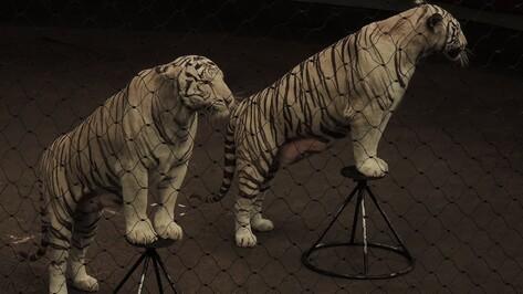 В Воронежском цирке выступают тигры-мутанты, которых заставить жить сложнее, чем обучить трюкам